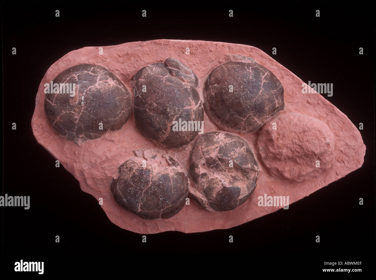 Dinosaur nest with 6 eggs from China - Stock Image