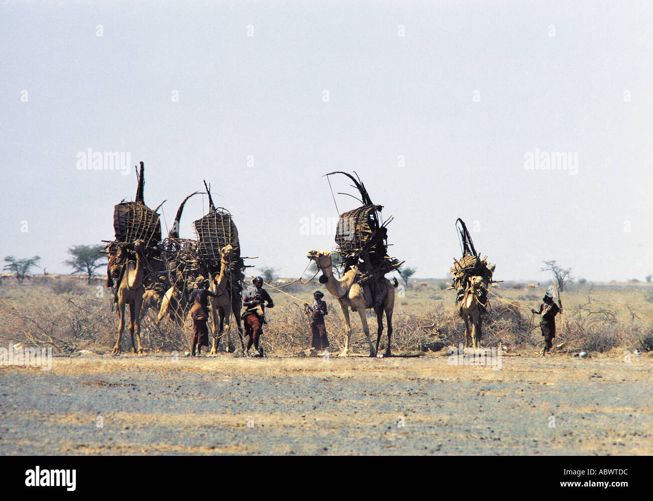 Gabbra women loading camels with their belongings prior to migrating to a new area - Stock Image
