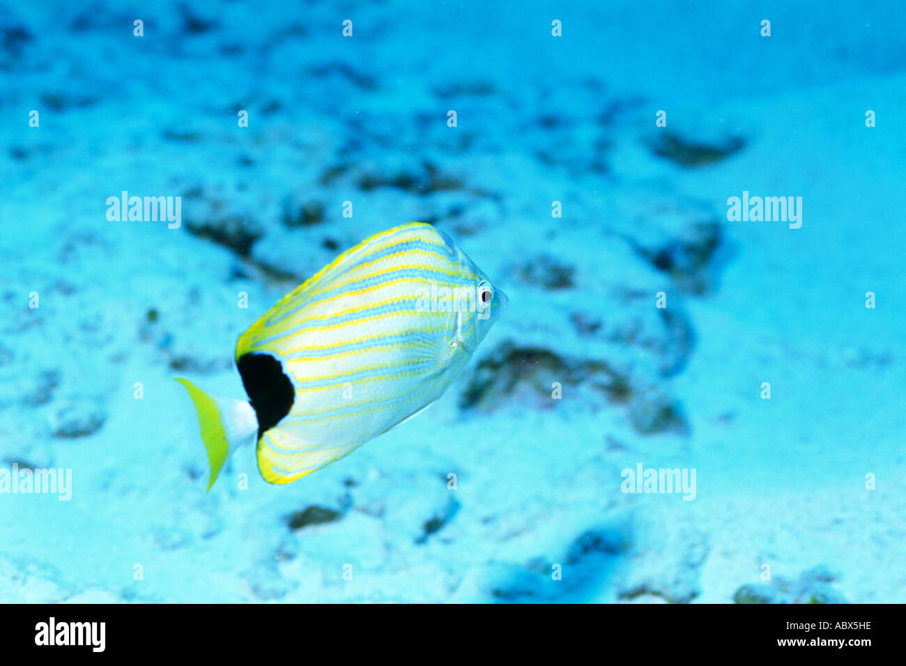 Confirm. All Info on striped butterfly fish magnificent
