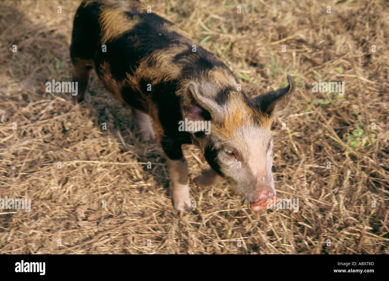 Baby Boar Pig Wild Hog