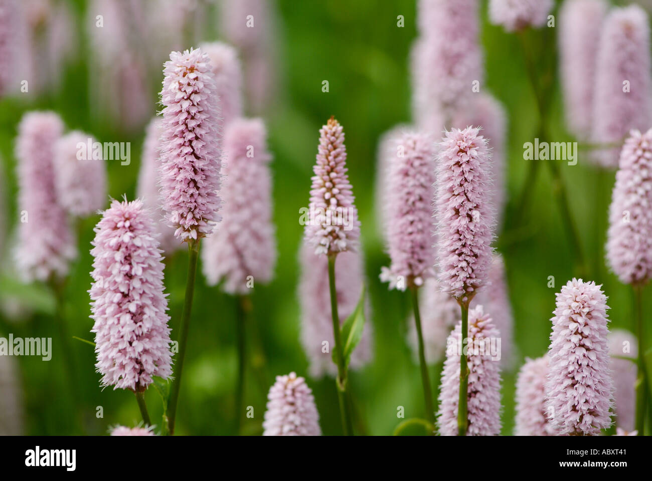Delicate Pink Flowers Persicaria Bistorta Stock Photos Delicate