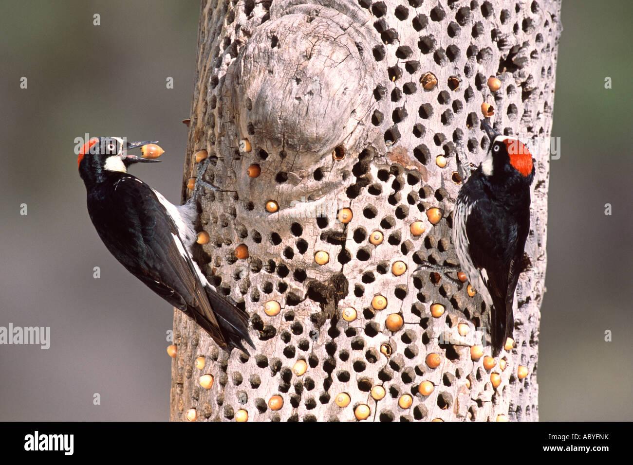 Acorn Woodpeckers Storing Acorns Stock Photo