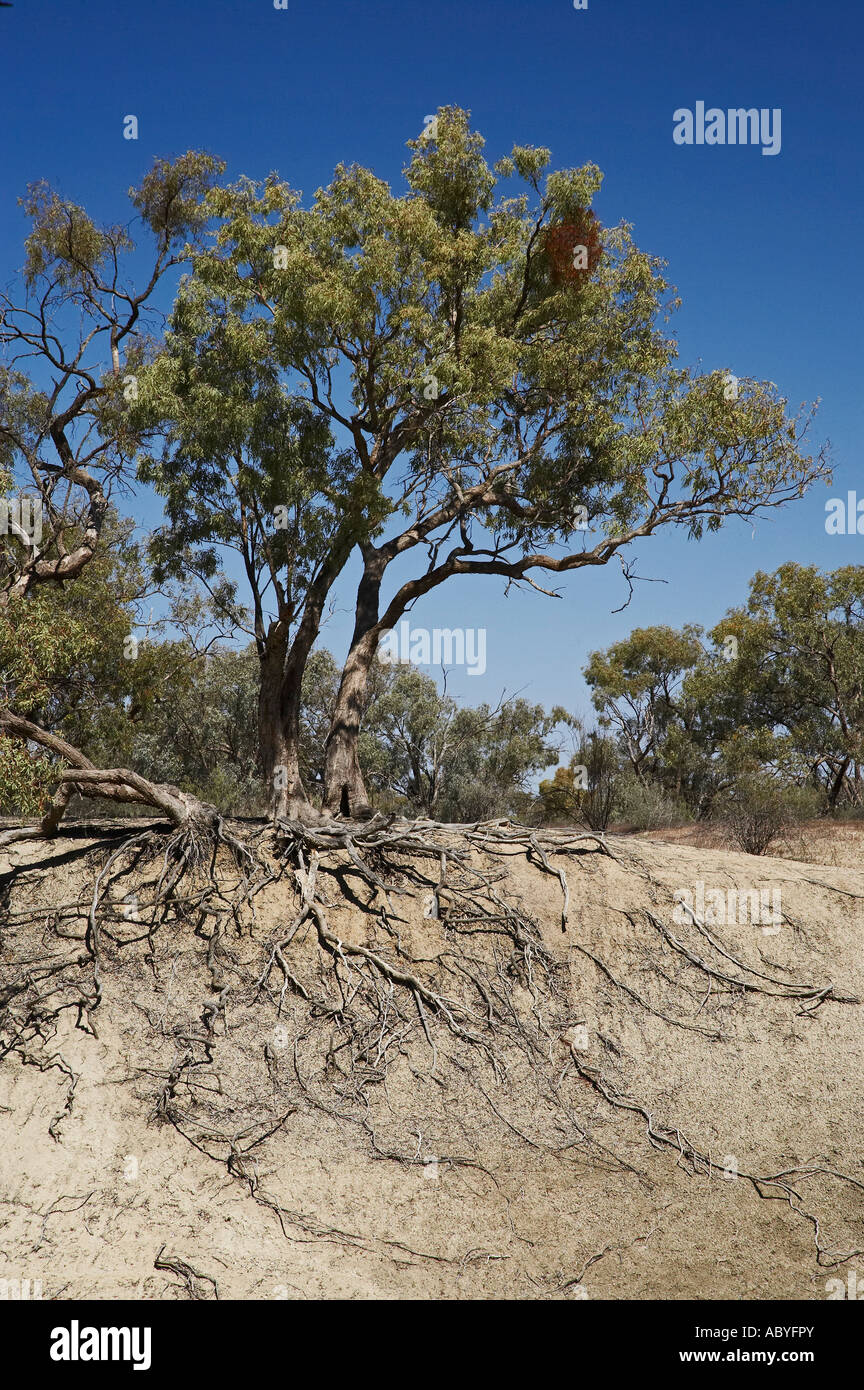 Tree and Root System on Bank of Darling River Kinchega National Park Outback New South Wales Australia - Stock Image