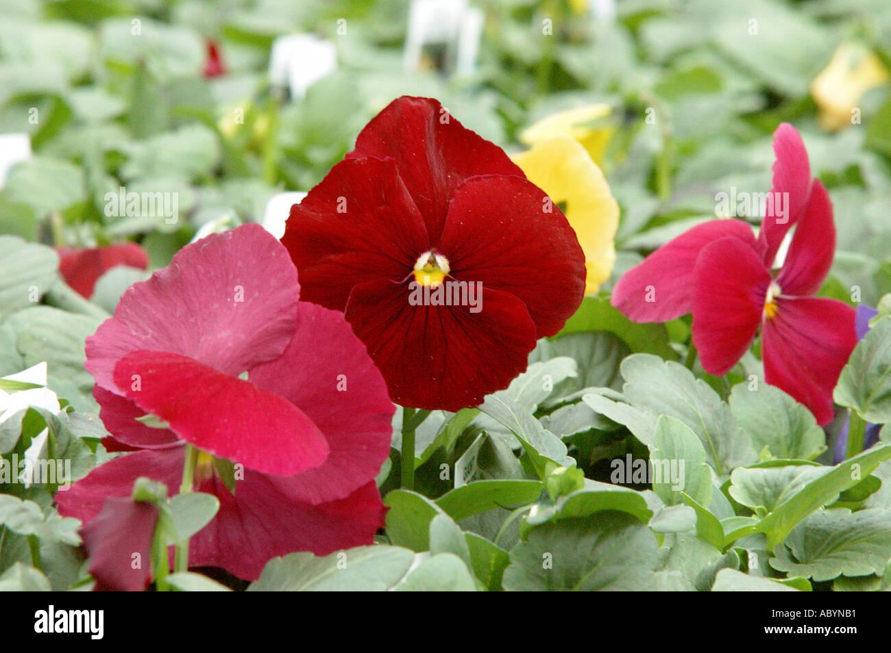 Pansies pansy flower flowers floural greenhouse garden flower plant ...