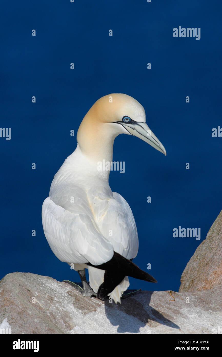Gannet Northern adult against blue sea Morus Bassanus Saltee Islands Kilmore County Wexford Ireland Europe EU Stock Photo