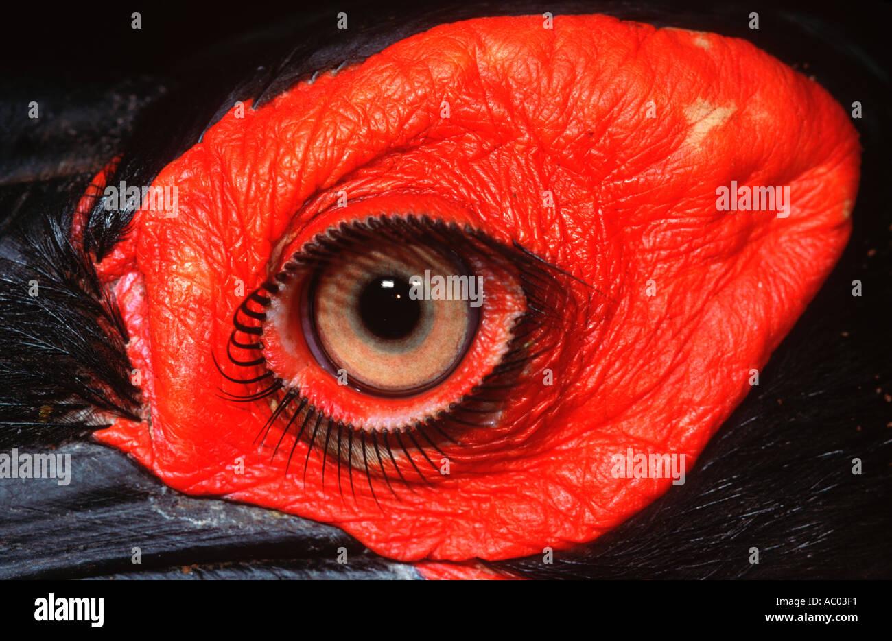 Ground Hornbill Bucorvus leadbeateri Africa south of equator - Stock Image