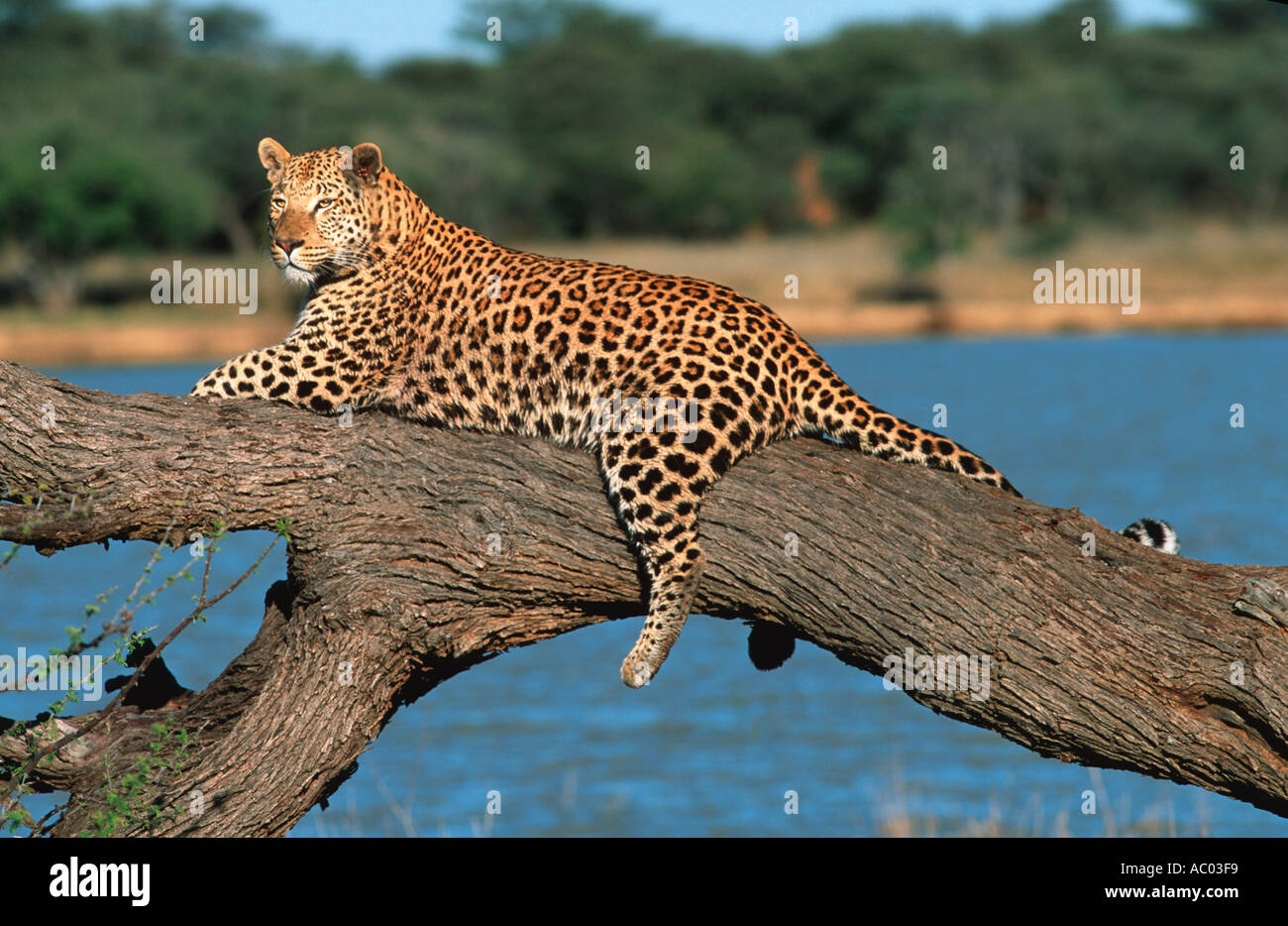 Leopard Panthera pardus Resting on tree Namibia Africa - Stock Image
