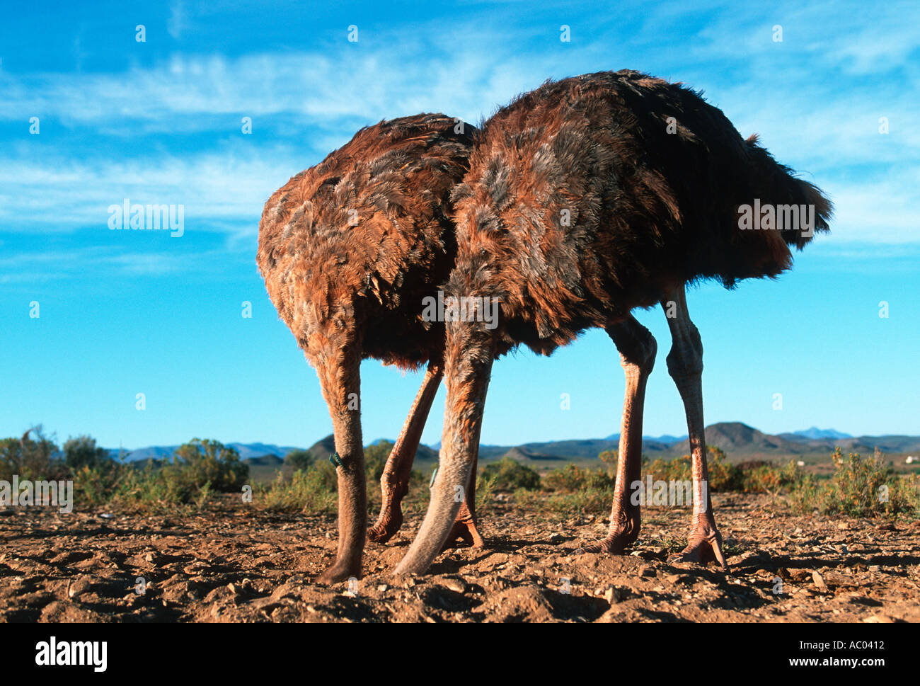Ostrich Stick your head in the sand set up photograph not genuine ostrich behaviour Africa - Stock Image