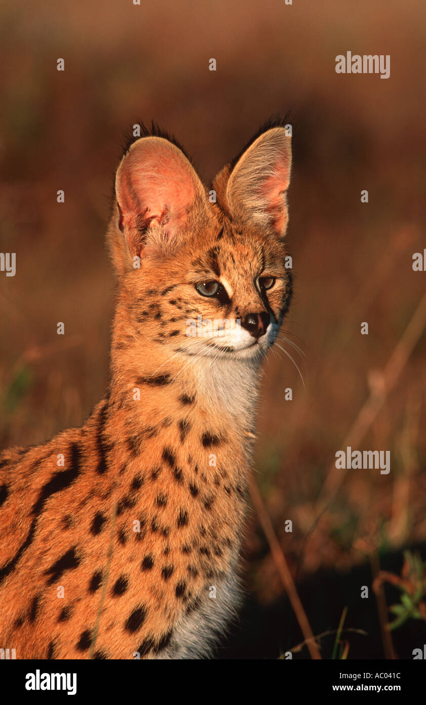 Serval Felis serval Characterised by a small head and large ears Africa - Stock Image