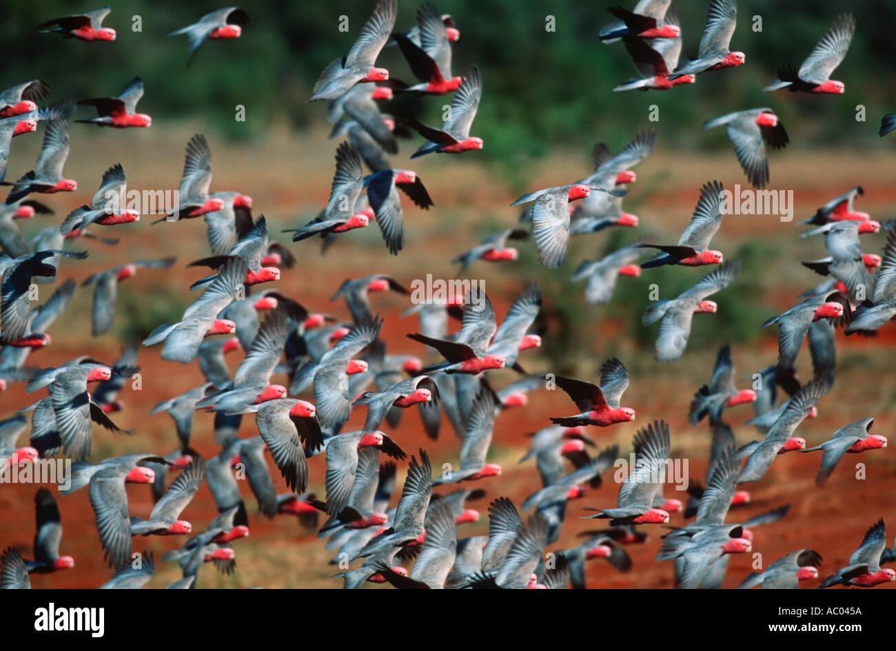 Galah Cacatua roseicapilla Usually in large noisy flocks Australia - Stock Image