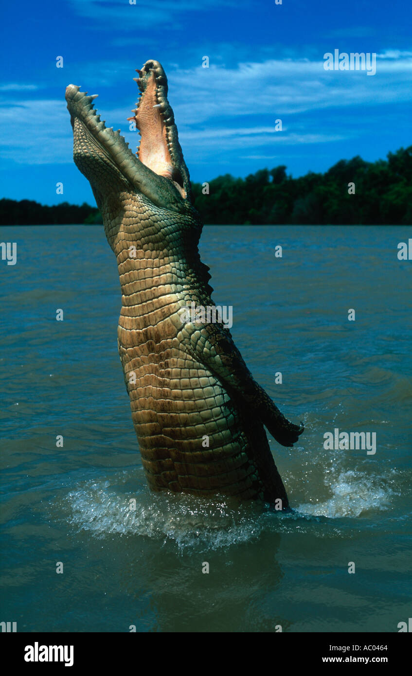 Estuarine Saltwater Crocodile Crocodylus porosus Leap out of water to catch food Australia - Stock Image