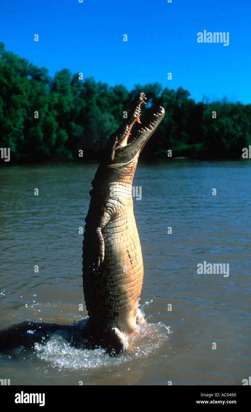 Estuarine Saltwater Crocodile Crocodylus porosus Leap out of water to catch food Australia - Stock Image