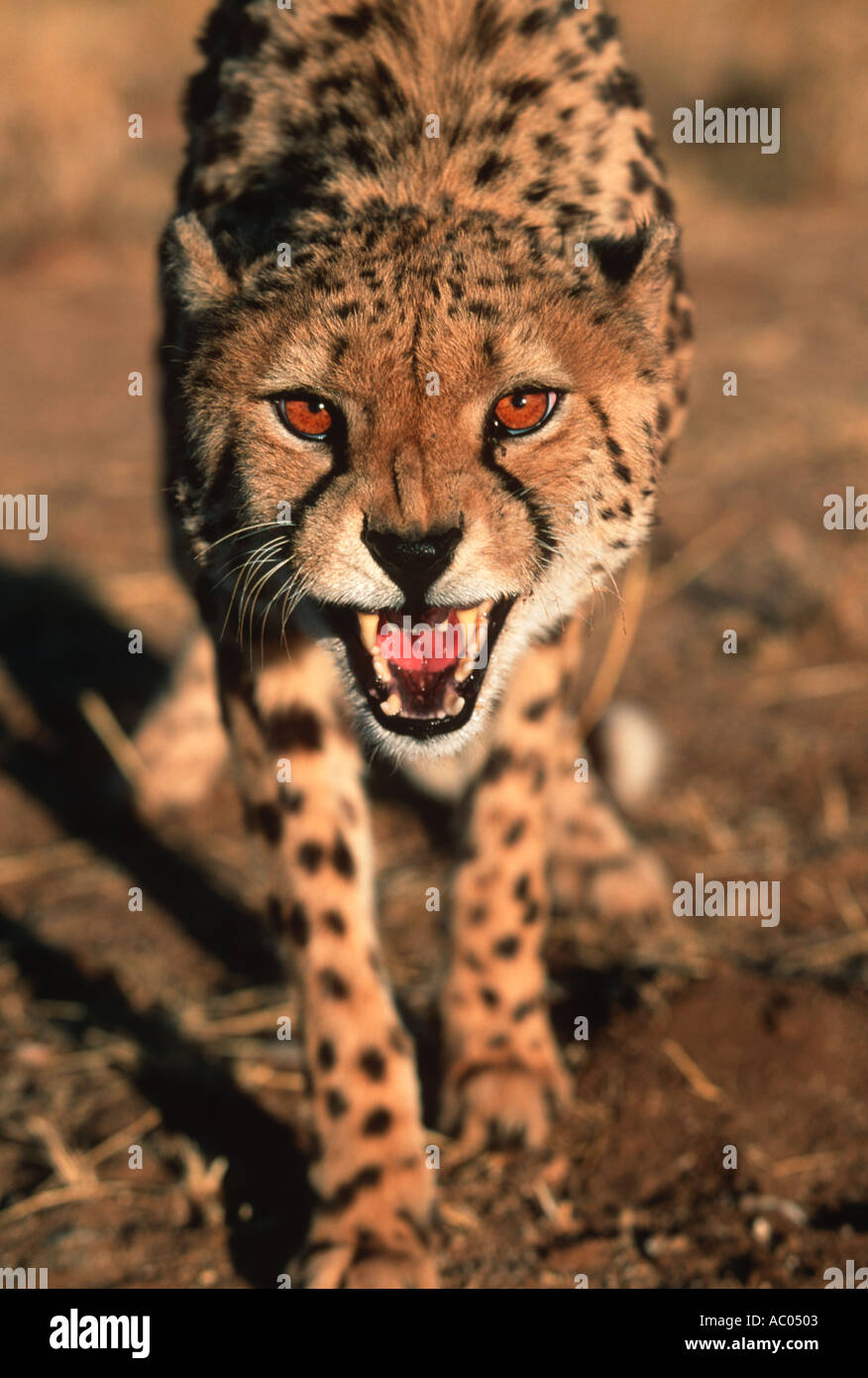 Cheetah Acinonyx jubatus Snarling Africa Middle East - Stock Image
