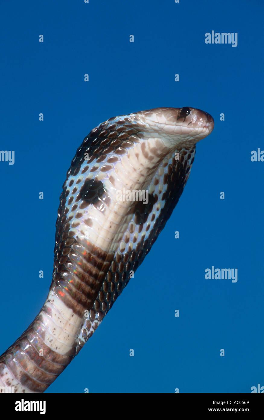 Spectacled cobra Naja naja or Common Cobra, Asian Cobra, Indian Cobra,Distribution Asia - Stock Image