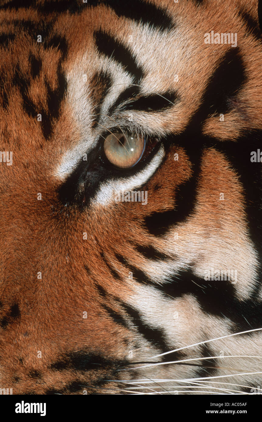 Tiger Panthera tigris Endangered species Asia but extinct in much of its range - Stock Image