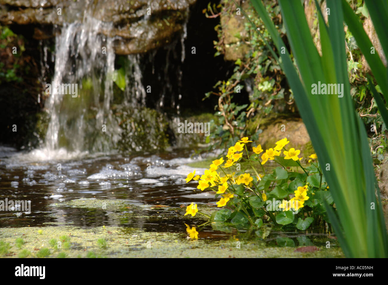 MARSH MARIGOLD OR KINGCUP BENEATH A WATERFALL AT DEWSTOW GARDENS AND GROTTOES NEAR CHEPSTOW SOUTH WALES UK - Stock Image