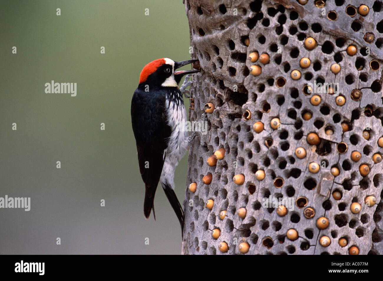 Acorn Woodpecker Storing Acorns Stock Photo