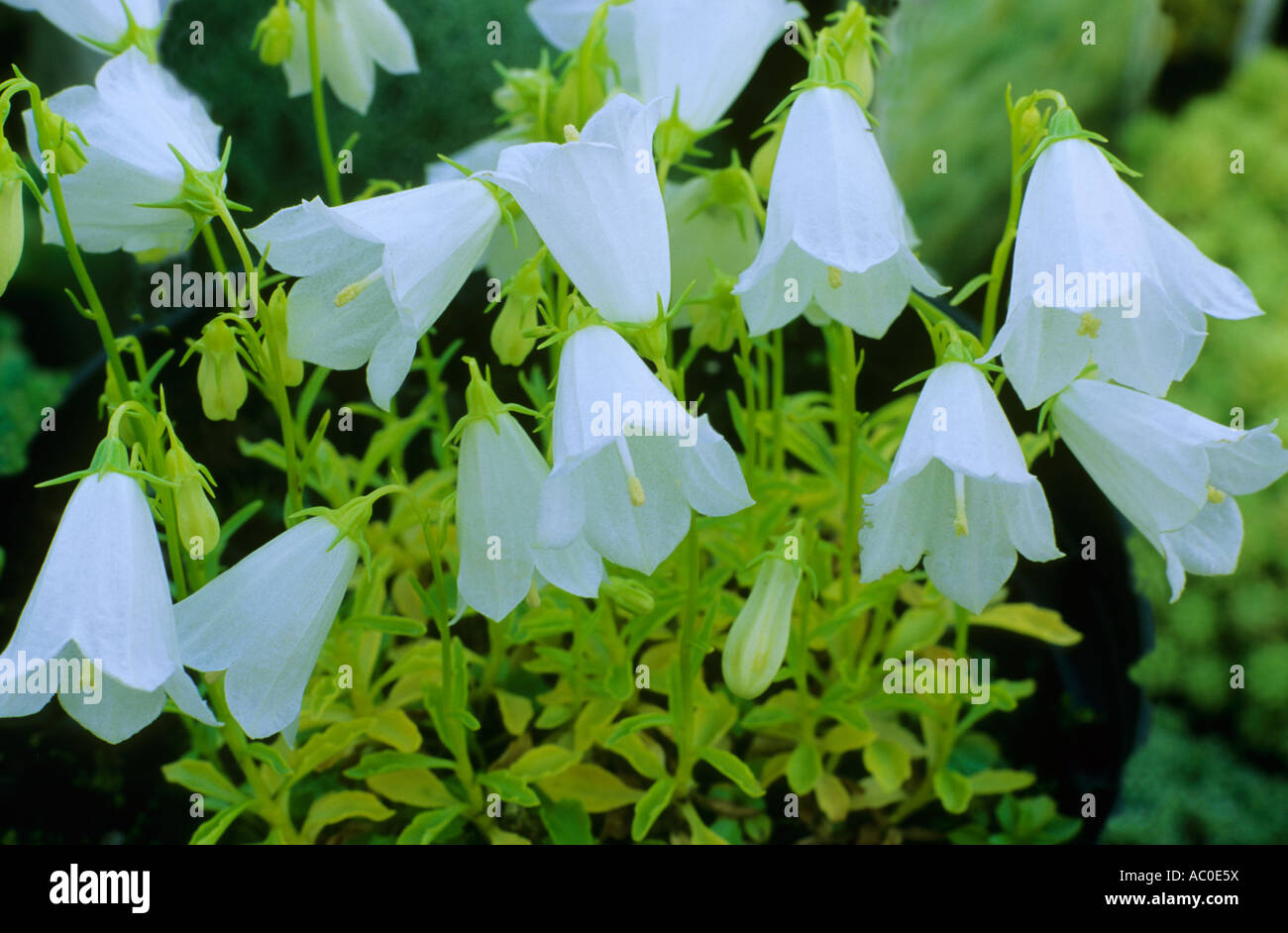 White Flowers Campanulas Stock Photos White Flowers Campanulas