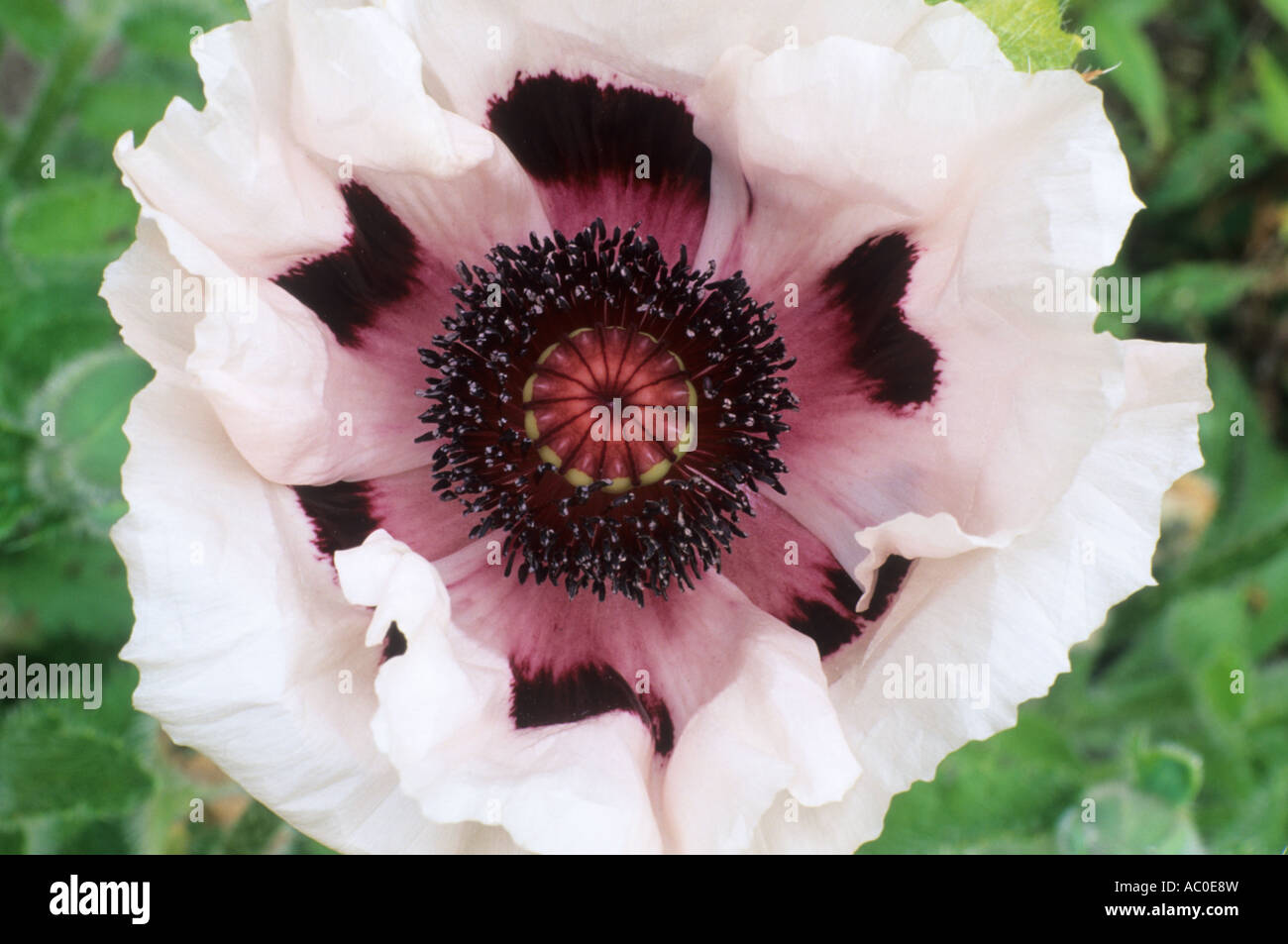 Papaver orientale perrys white oriental poppy white flower papaver orientale perrys white oriental poppy white flower purple centre garden plant poppies flowers plants mightylinksfo
