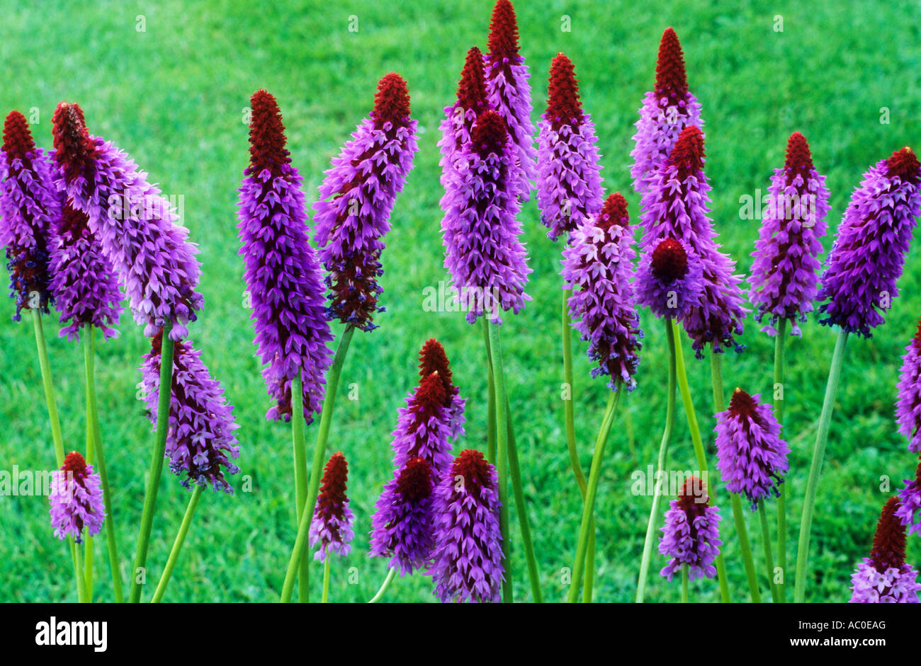 Merveilleux Primula Vialii, Purple And Red Flowers, Garden Plant Plants Flower Primulas  Primulae Drift Drifts
