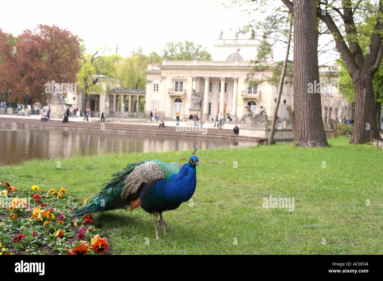 A Peacock In Royal Lazienki Park In Warsaw Poland Stock
