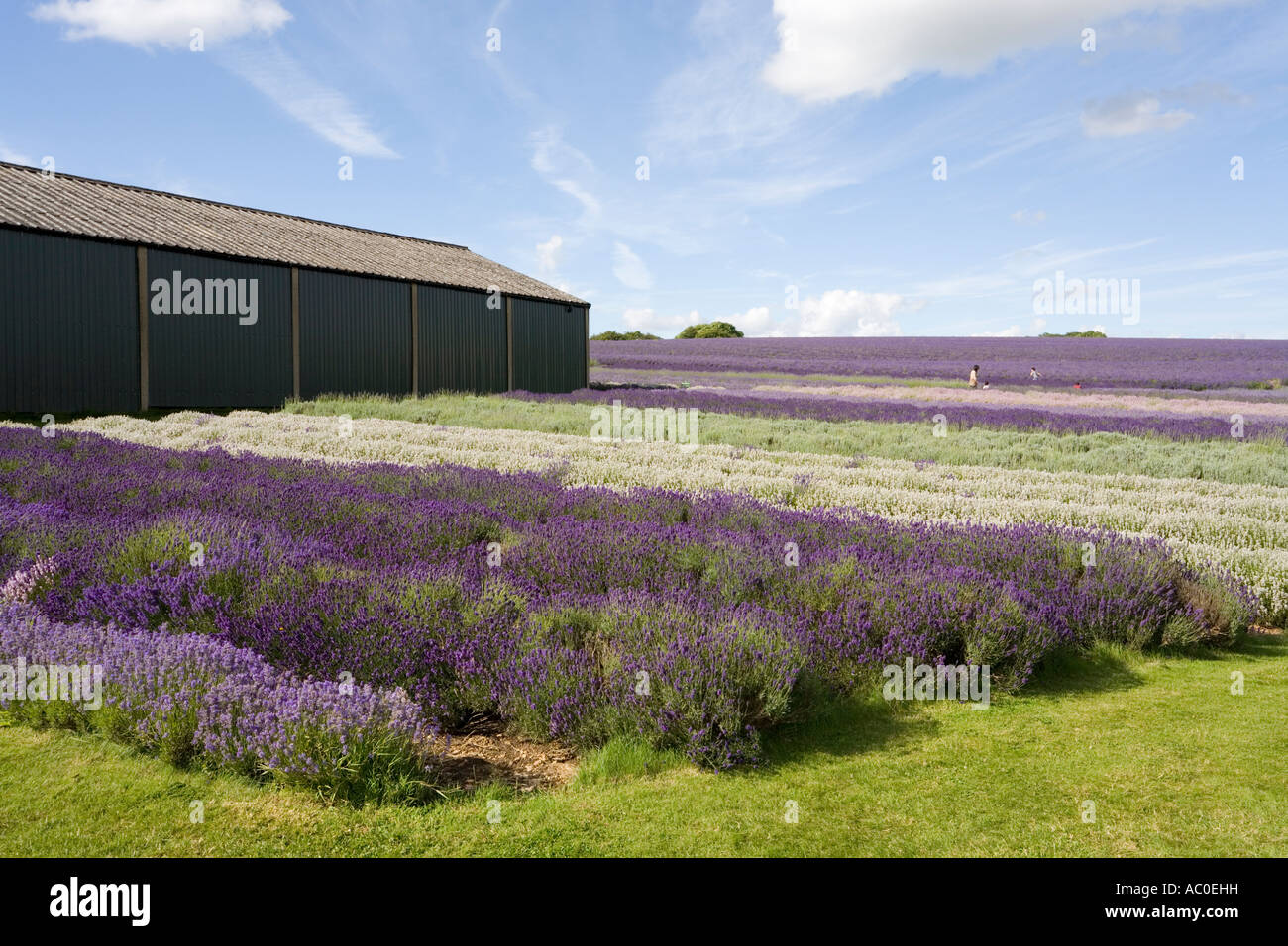 Snowshill Lavender Farm near the Cotswold village of Snowshill Gloucestershire - Stock Image