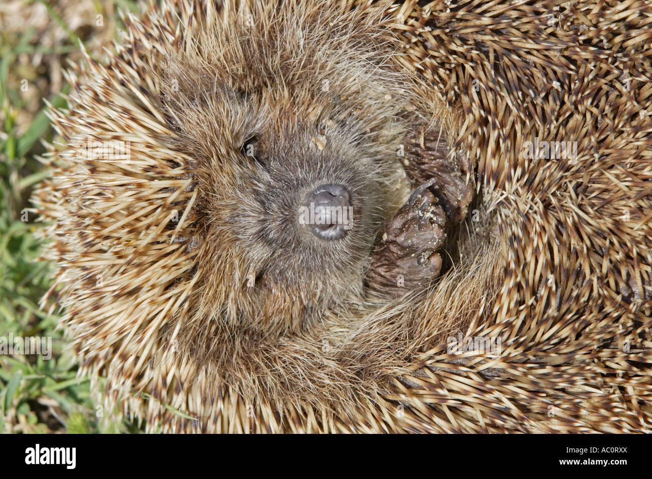 Eastern Hedgehog - Stock Image