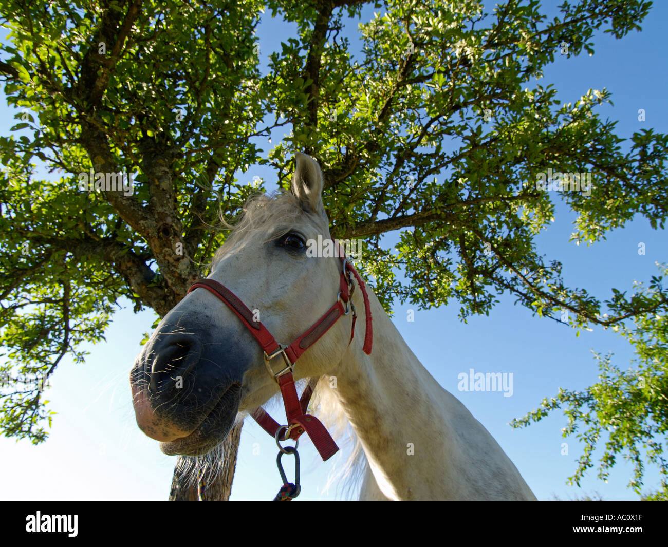 Portrait of a white horse tied to a tree Grand Haute Marne France - Stock Image