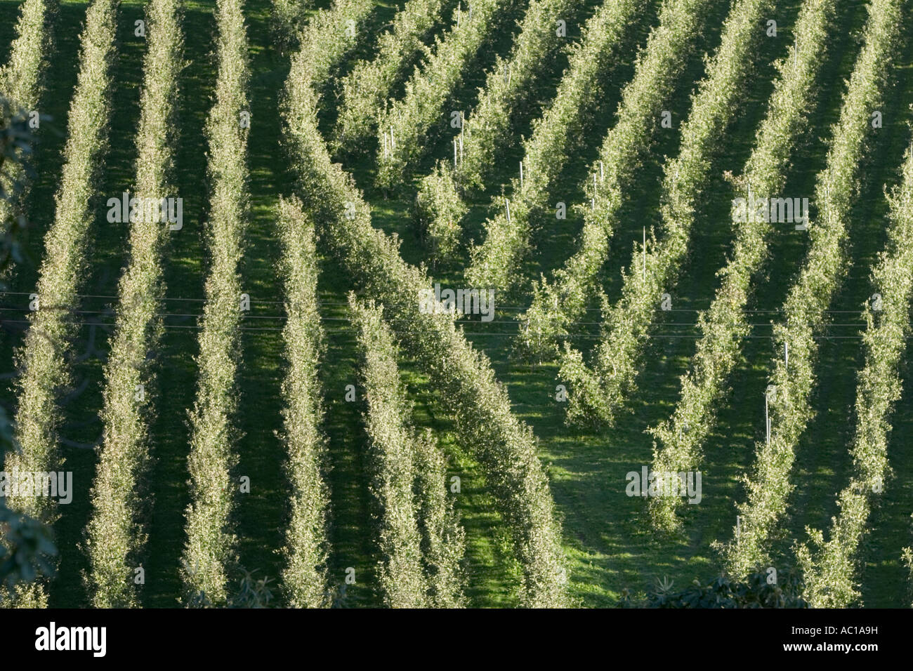 Rows of Vinschgau apple trees, South Tyrol, Italy Stock Photo
