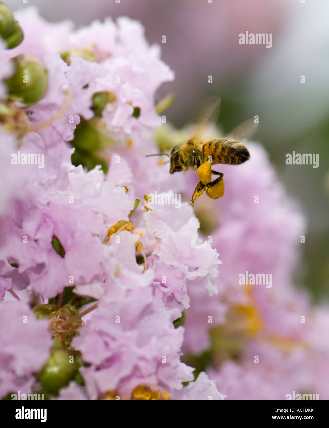 Honey Bee, Apis mellifera, Flying to an orchid colored crepe myrtle blossom. Oklahoma, USA. - Stock Image