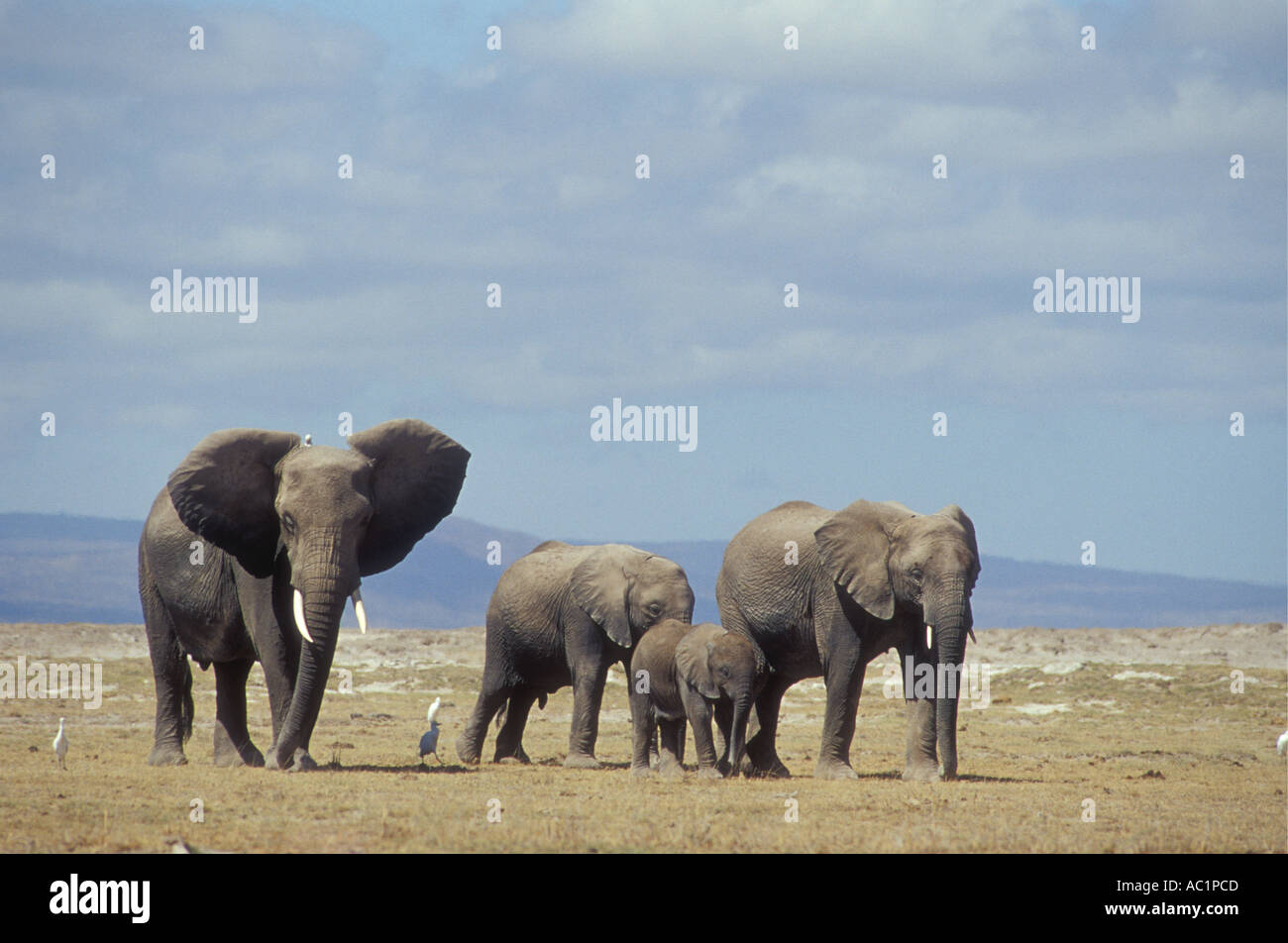 A group of female elephants and calves accompanied by Cattle Egrets on the move in Amboseli - Stock Image