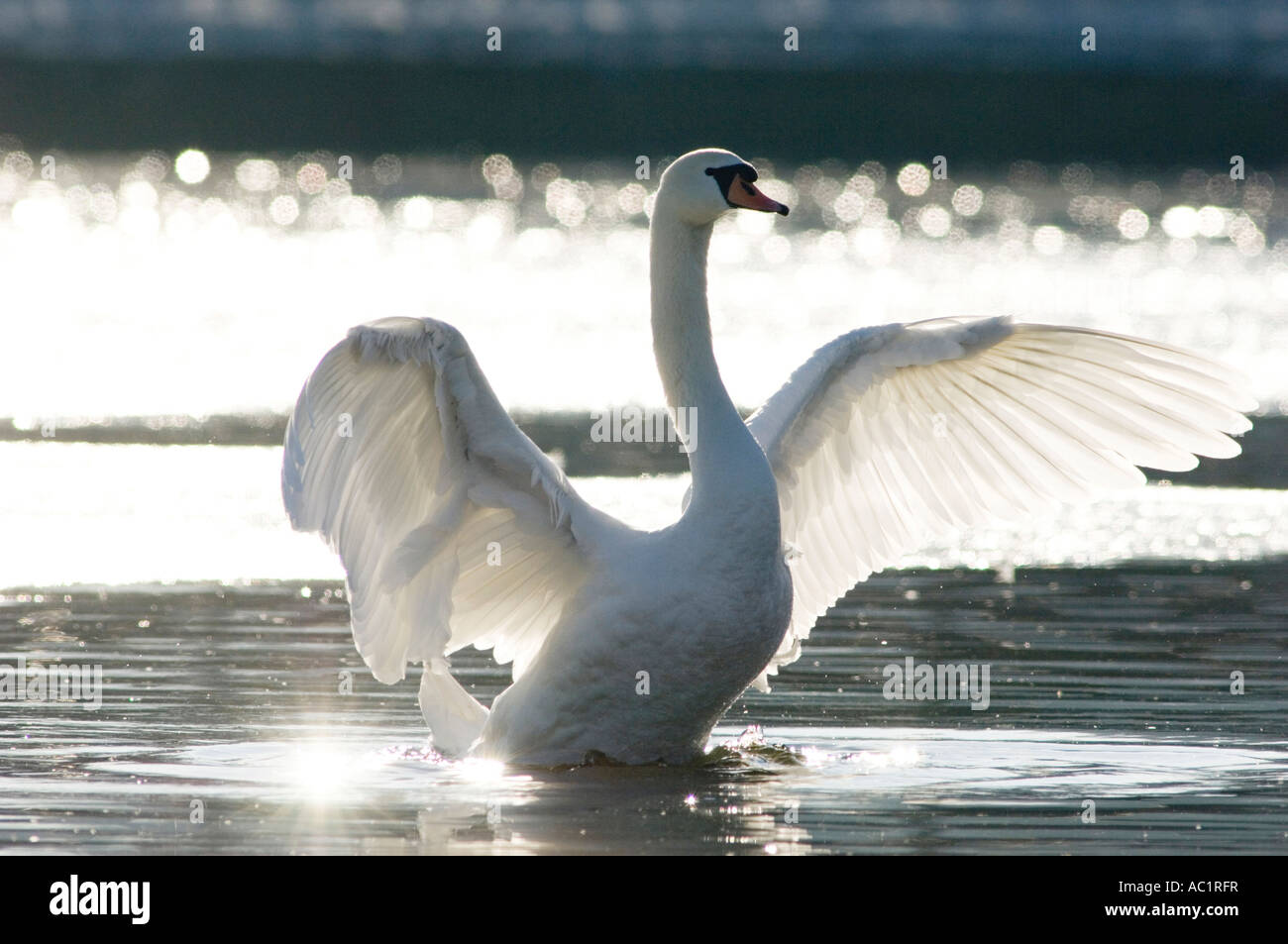 Mute swan, close-up - Stock Image