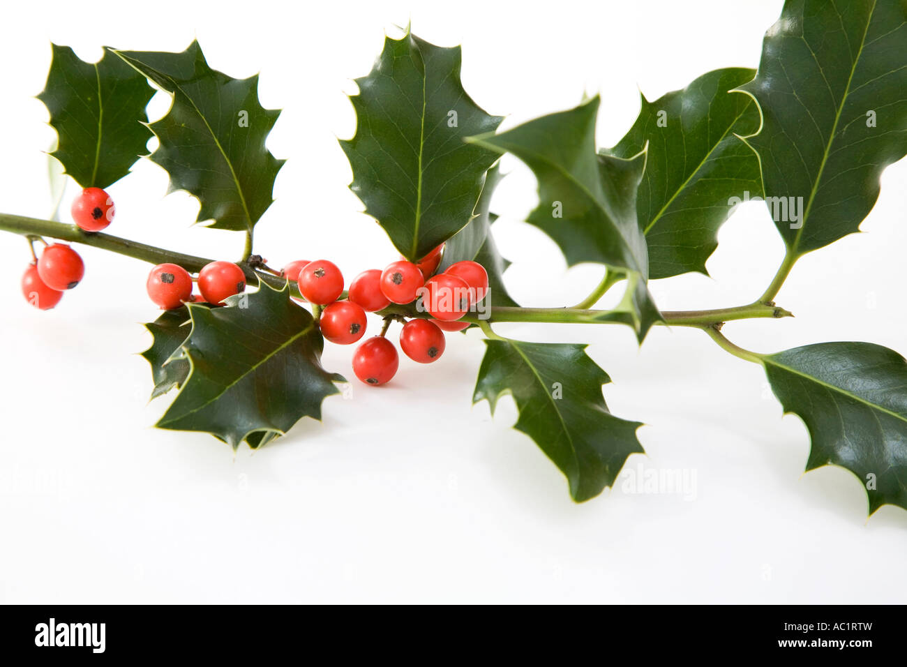 Holly twig, close-up - Stock Image
