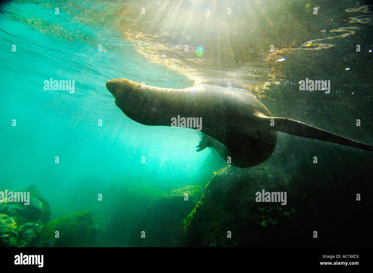 Galapagos Sea Lion, close-up - Stock Image