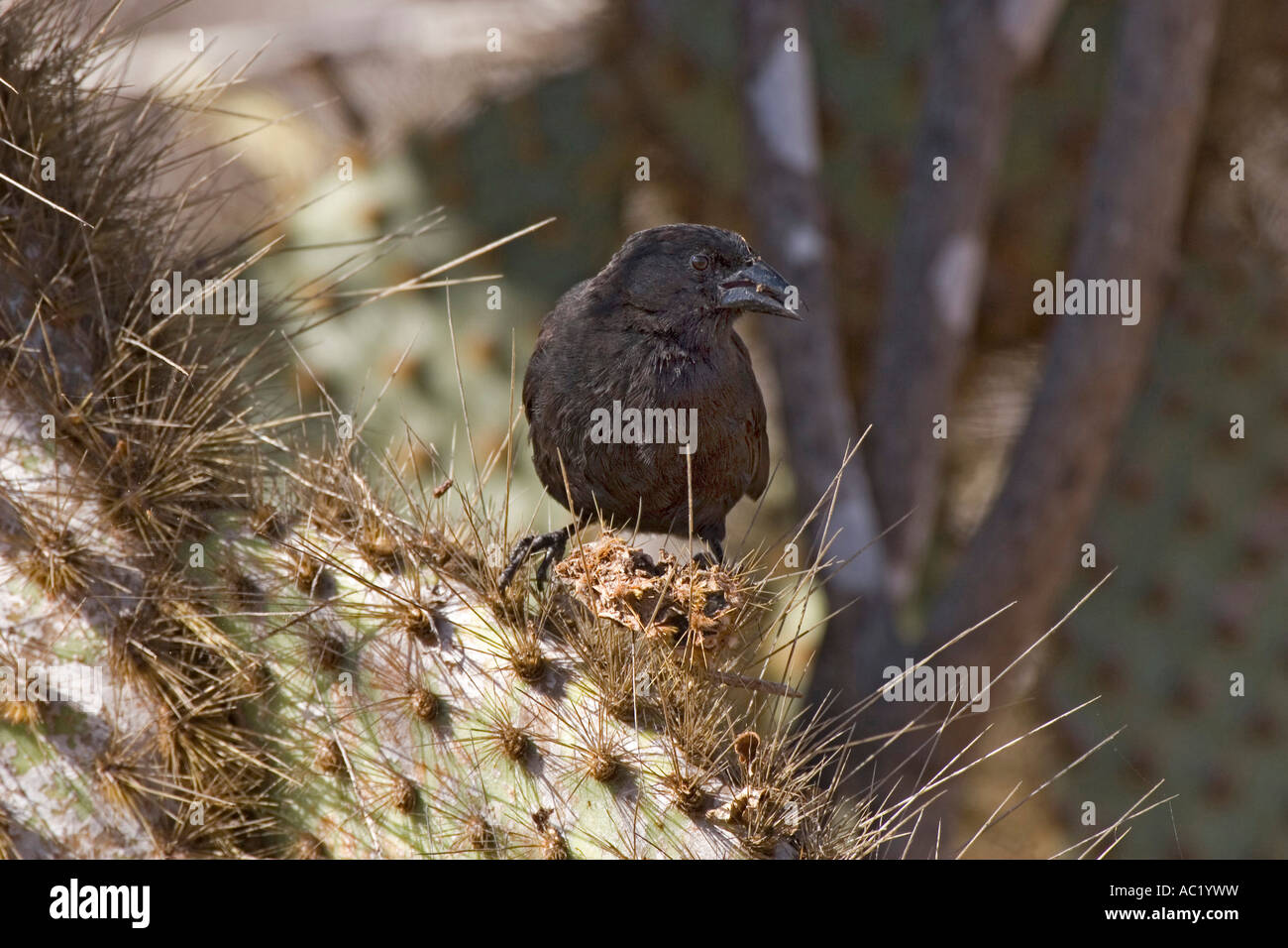 Male cactus ground finch onSanta Cruz at Cerro Dragon in the Galapagos island - Stock Image