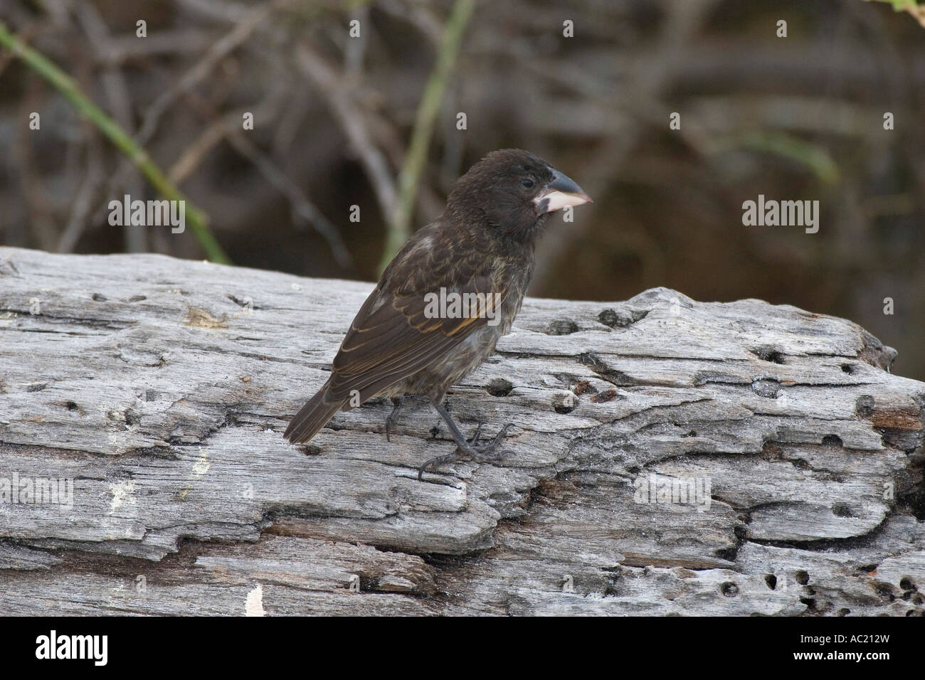 Large cactus ground finch on Espanola in the galapgos islands - Stock Image