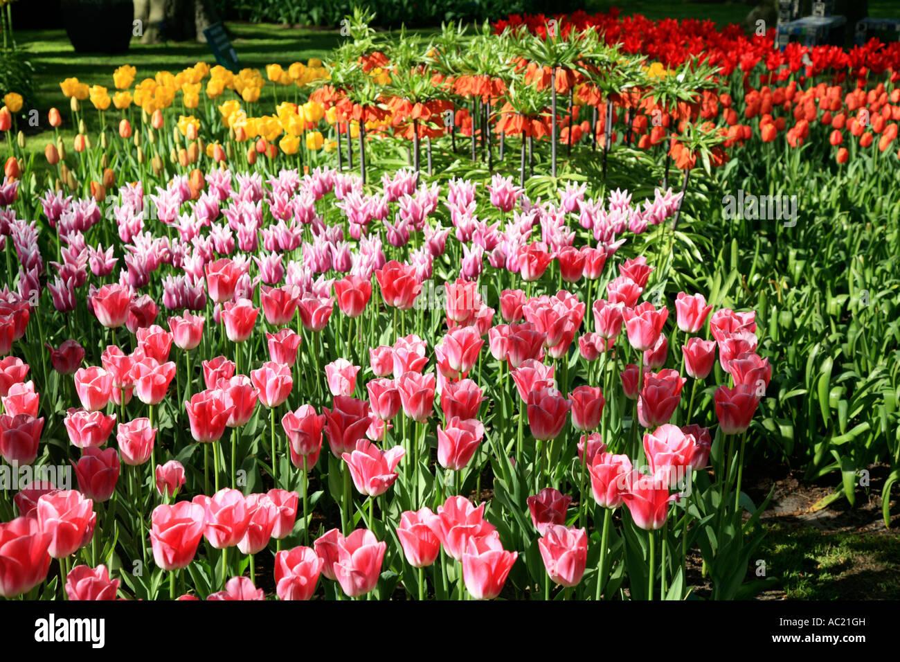tulip spring garden at keukenhof gardens near amsterdam in holland