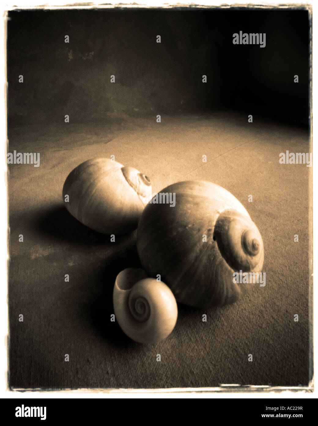 still life of shells sepia color - Stock Image
