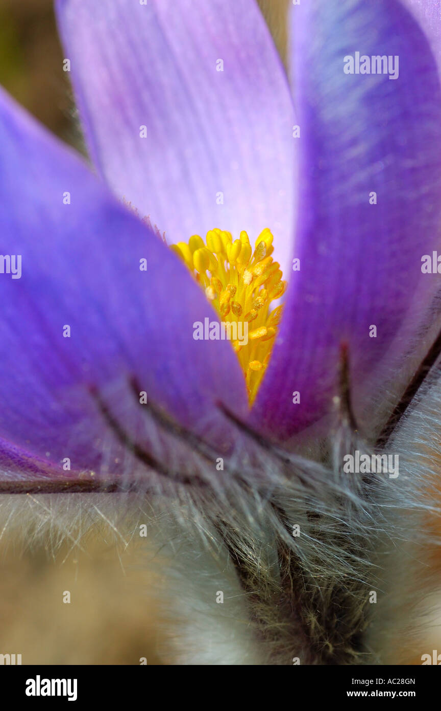 Pasqueflower Pulsatilla grandis - Stock Image