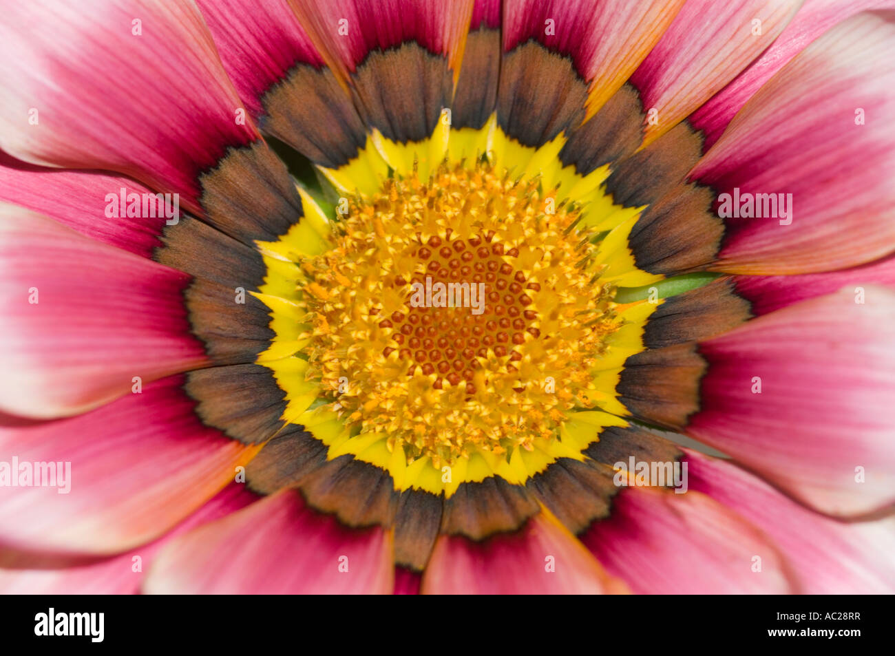 Close up macro of a colourful Chrysanthemum Asteraceae. - Stock Image