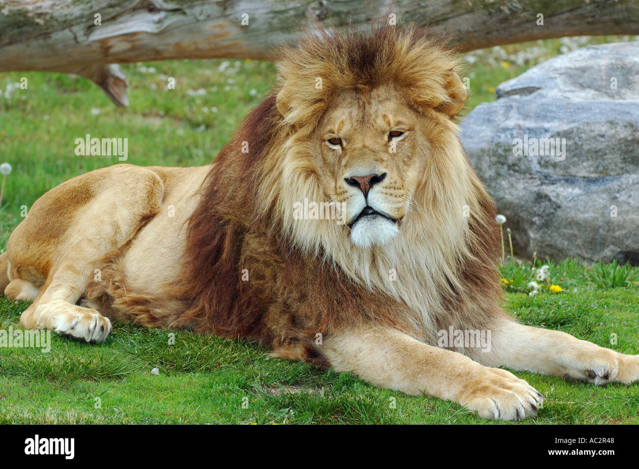 Male African Lion lying on green grass in spring - Stock Image