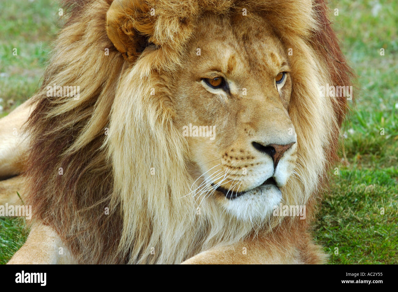 Face of male lion lying on grass - Stock Image