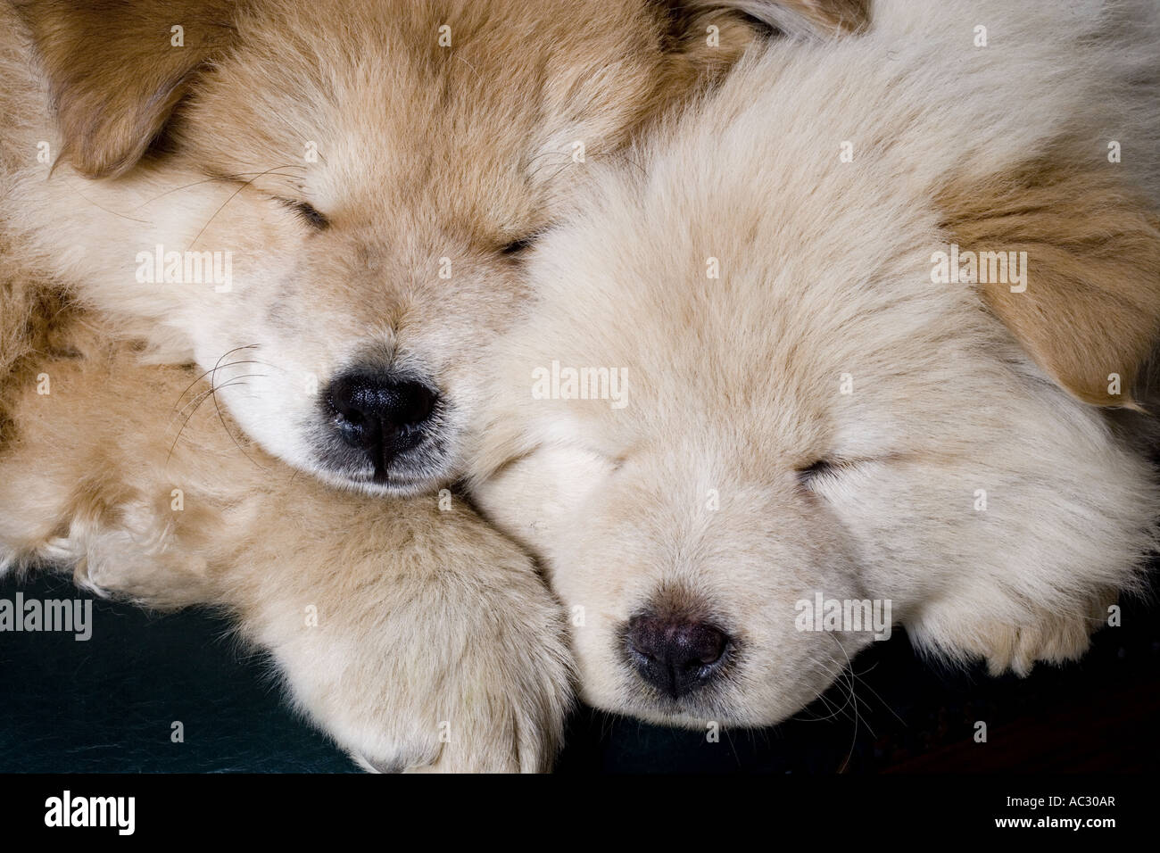 Chow puppies asleep - Stock Image