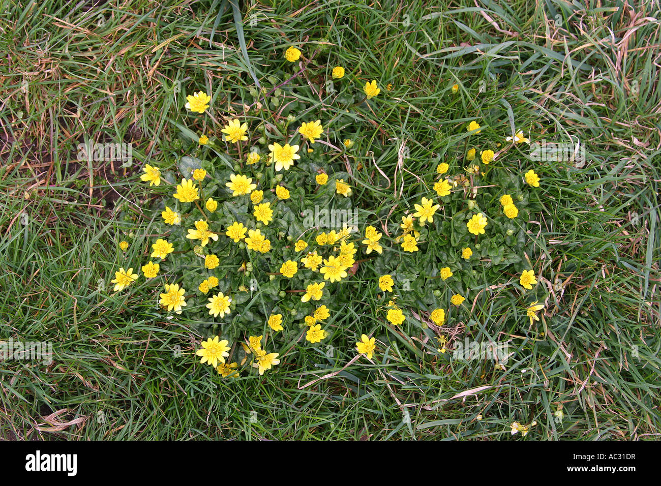 Small Yellow Wild Flowers In A Clump Stock Photo 13024306 Alamy