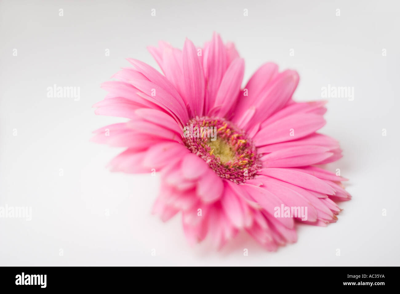 Pink gerbera daisy flower on a white background Stock Photo