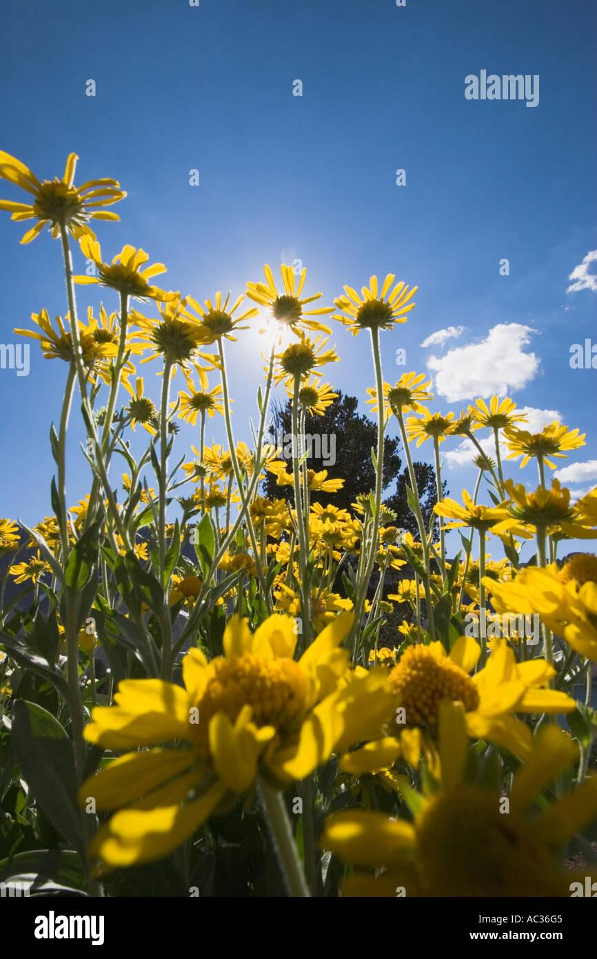 Tall mountain helenium (Dugaldia hoopesii) wildflowers in bloom at Leavitt Lake Toiyabe National Forest California,Stock Photo
