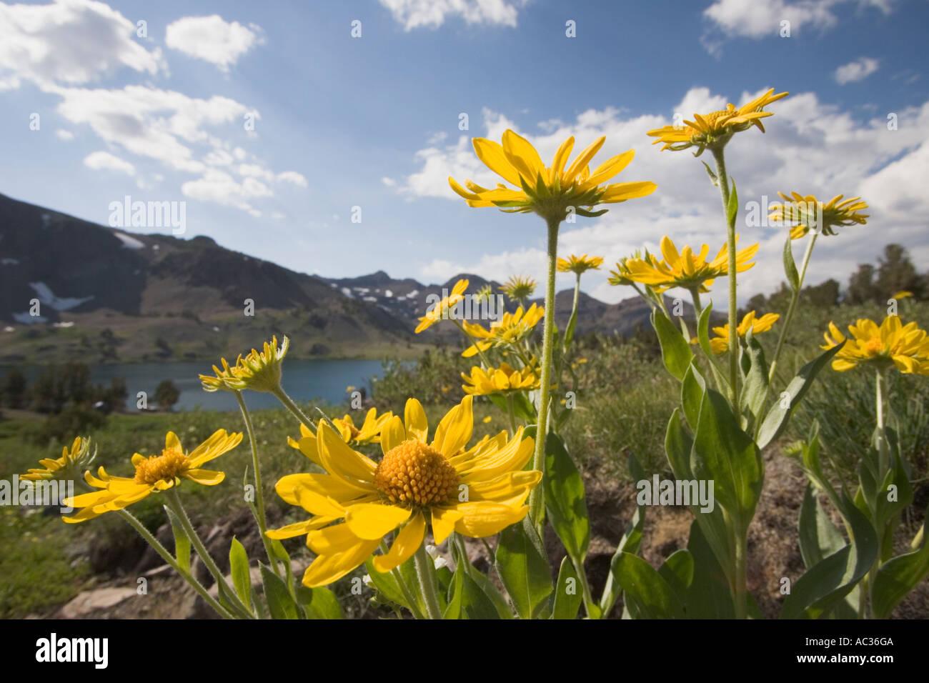 Tall mountain helenium (Dugaldia hoopesii) wildflowers in bloom at Leavitt Lake, Toiyabe National Forest California,Stock Photo