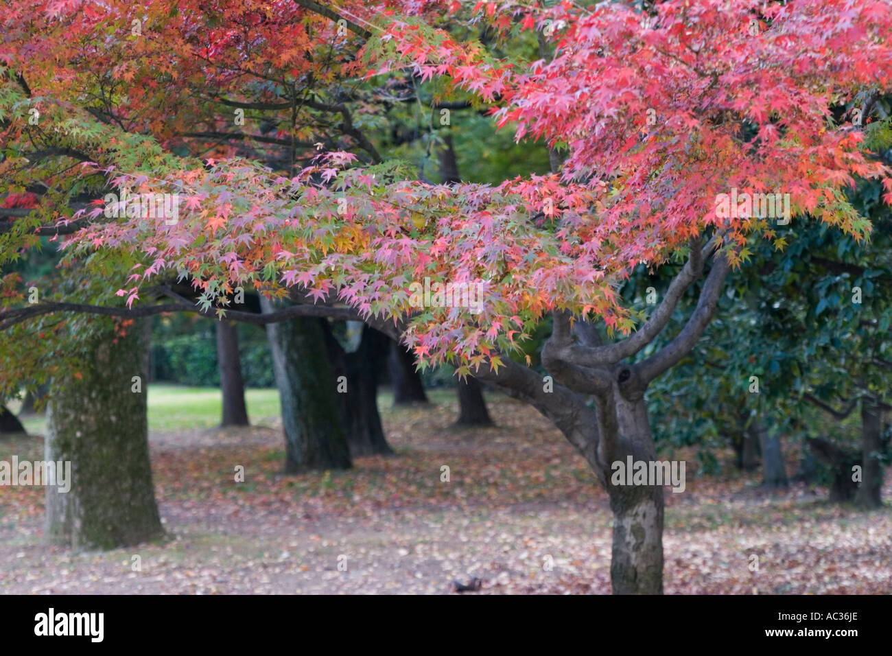Japanese maple Acer palmatum in autumn colors Kyoto Imperial Park Kyoto Kansai Region Japan Stock Photo