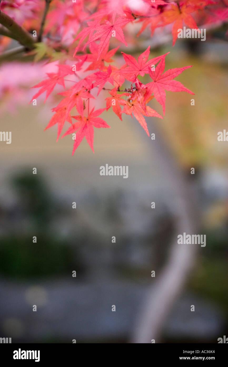 Detail of Japanese maple leaves (Acer palmatu)m during autumn at Daitokuji Temple Kyoto Kansai Region Japan - Stock Image