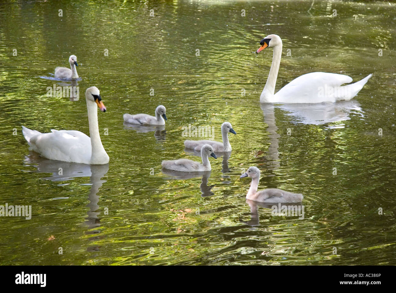 Swans and cygnets on the River Ock at Abingdon 2 Stock Photo